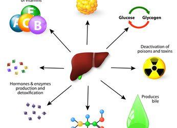 Le foie – un organe clé